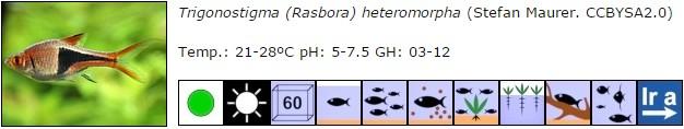 Trigonostigma (Rasbora) heteromorpha
