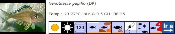 Xenotilapia papilio