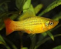 Xiphophorus sp.