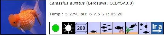carassius auratus 02