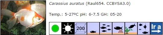carassius auratus 03