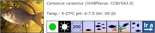 carassius carassius