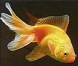 Carassius auratus, carpín dorado