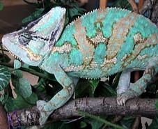 Chamaeleo calyptratus, macho