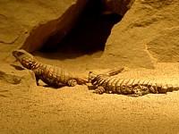Cordylus cataphractus