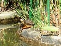 Estanque para tortugas cercado