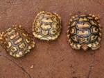 Geochelone pardalis, crías