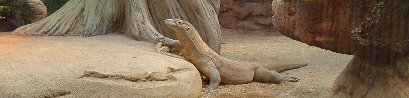 Varanus komodoensis en ZooBCN