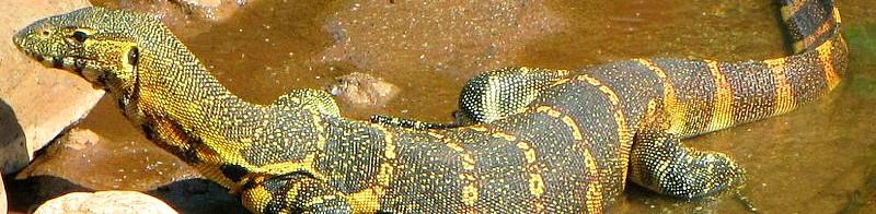 Varanus niloticus