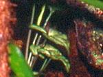 Syngonium
