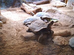 Torugas de Aldabra en corral de obra