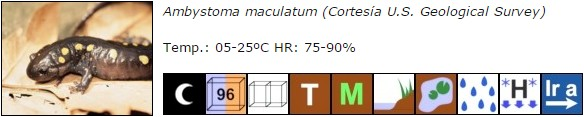 Ambystoma maculatum