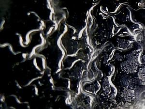 Microgusano de la avena