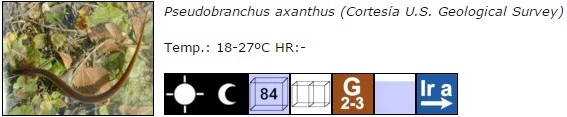 Pseudobranchus axanthus