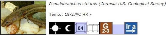 Pseudobranchus striatus
