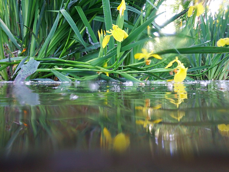 Iris pseudacorus, ribera baja. Seriñá