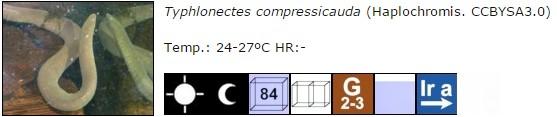 Typhlonectes compressicauda