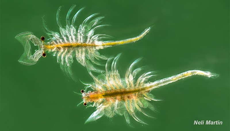 Artemia adulta, dimorfismo sexual