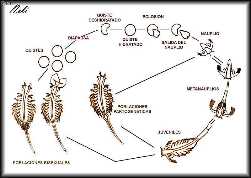 Artemia salina, ciclo vital