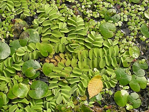 Salvinia spp.