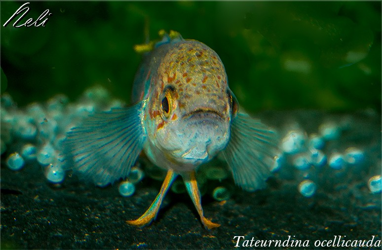 Macho de Tateurndina ocellicauda protegiendo la puesta