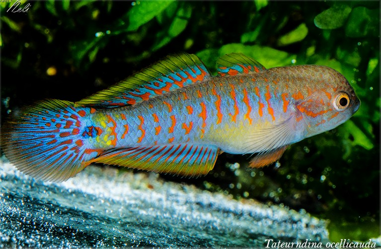 T. ocellicauda, macho reproductor