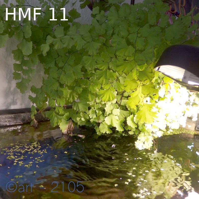 HMF, plantado zona emersa