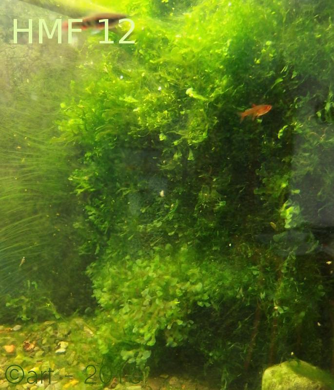 Hamburguer mattenfilter, Lomariopsis