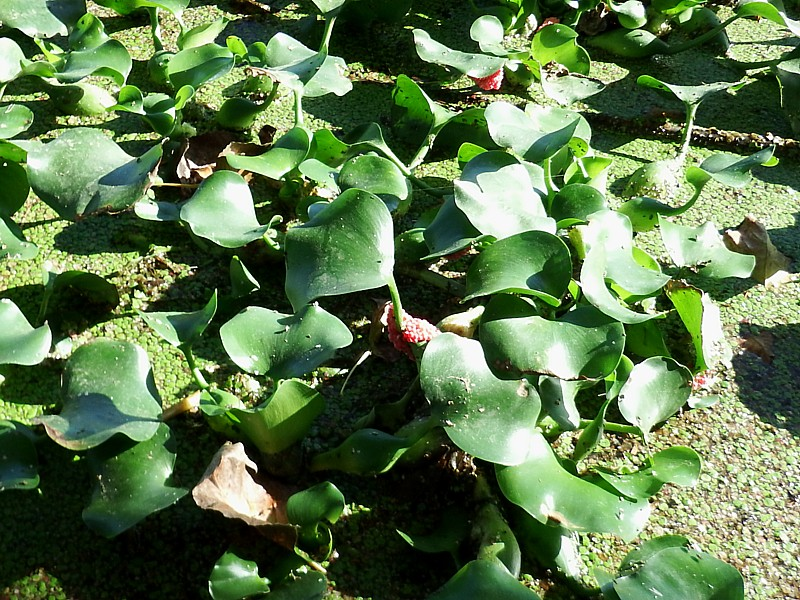 Eichornia crassipes y Pomacea canaliculata. Delta del Ebro