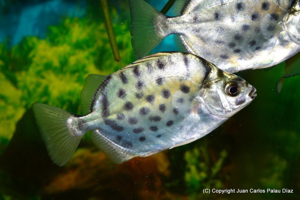 """""""Scats"""" (Scatophagus sp.)"""
