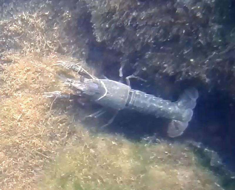 Identificación cangrejo agua dulce Identificacion-00