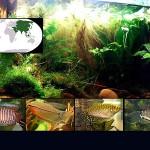peces anabantidos destacada