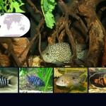 peces ciclidos americanos destacada