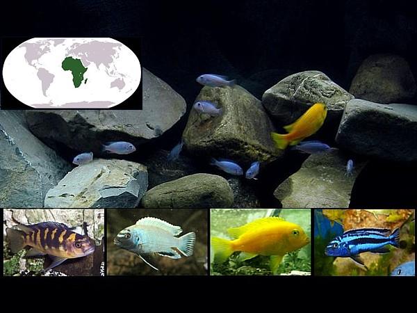 peces malawi destacada