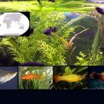 peces pecilidos destacada