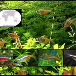peces tetras destacada
