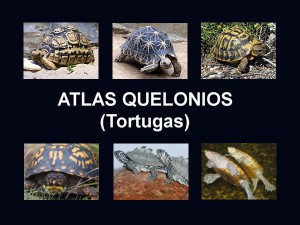 Atlas quelonios tortugas