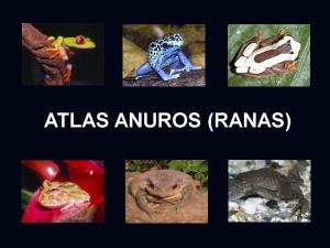 Atlas anuros