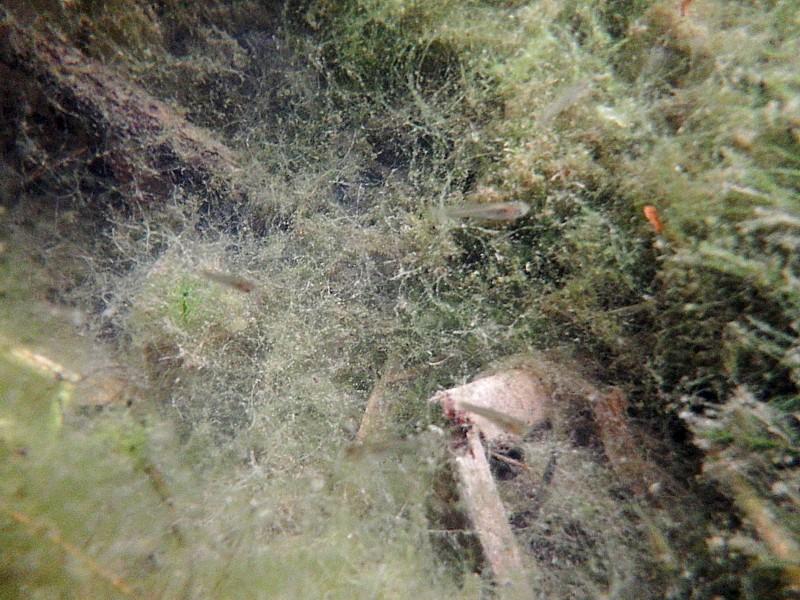 Meandro derecho, Gambusia affinis