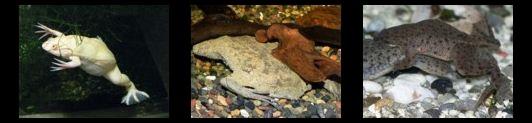 Anfibios vida acuática