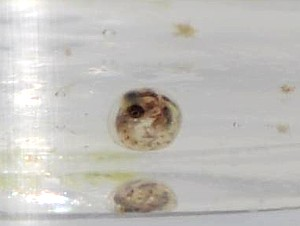 Embrión Fundulopanchax