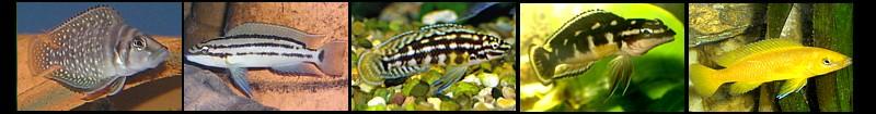 Lamprologus y Julidochromis