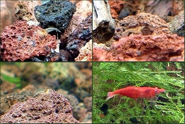 Red sakura reproducción