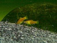 Xyphophorus helleri