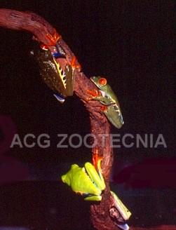 Agalichnys mostrando diferentes coloraciones