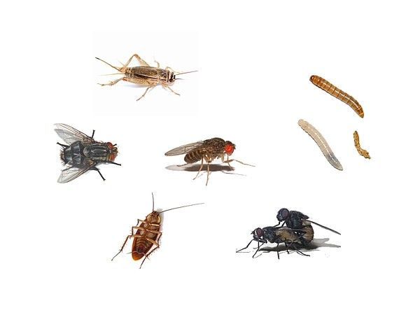 Alimento vivo insectos