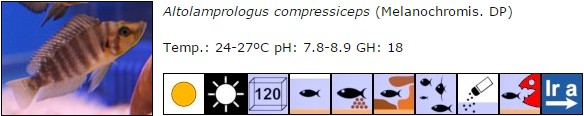 Altolamprologus compressiceps