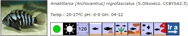 Amatitlania (Archocentrus) nigrofasciatus