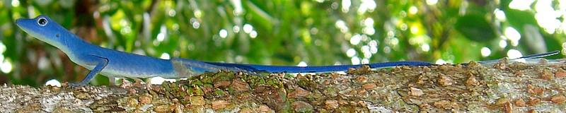 Anolis gorgonae