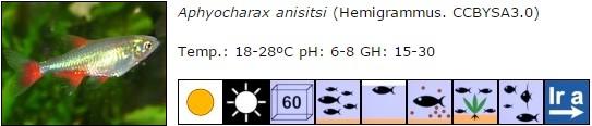 Aphyocharax anisitsi